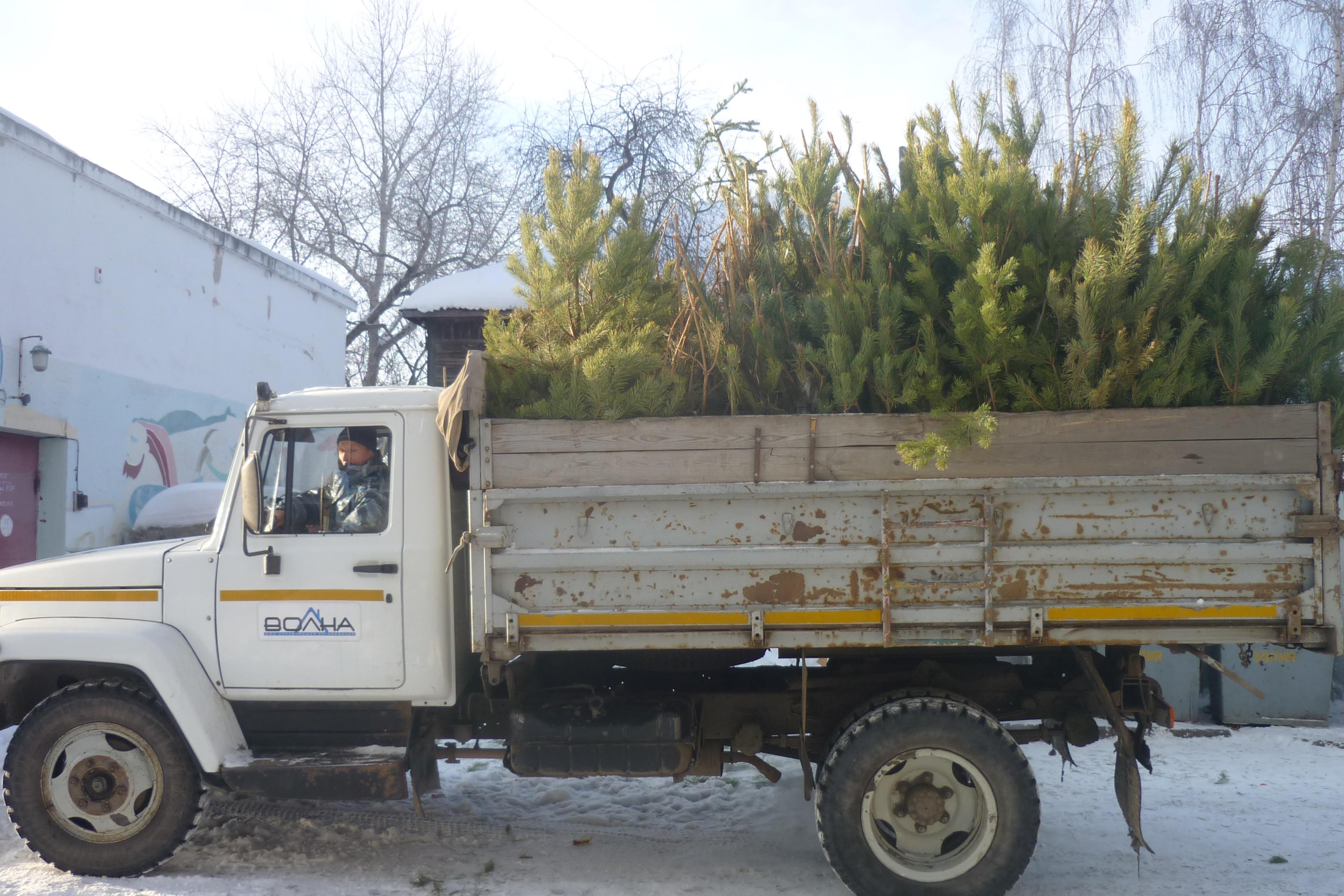 Праздник закончился: в Кургане управляющая компания вывозит новогодние елки на переработку