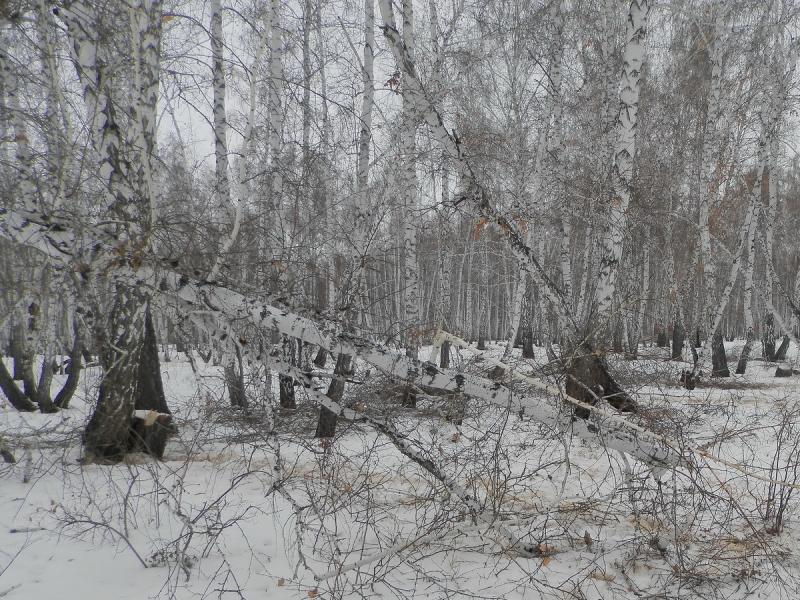 За незаконную рубку берез в Лебяжьевском районе жителю грозит до четырех лет лишения свободы