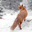 Жителям Курганской области следует опасаться лис, енотовидных и обычных собак