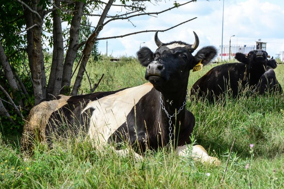 Украл на миллион, продал за 200 тысяч: тюменец увел у зауральца 24 коровы