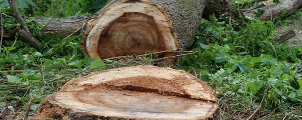 Самарцы возмущены массовым спилом здоровых деревьев