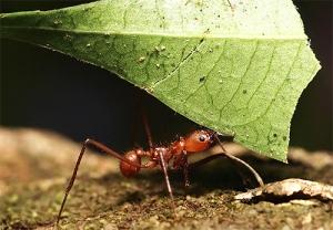 Жизнедеятельность муравьёв-листорезов приводит к увеличению выбросов парниковых газов